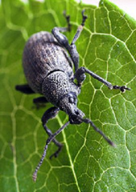 Vine Weevils? Steinernema kraussei to the rescue!