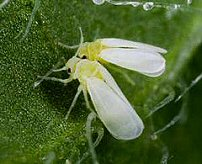 Encarsia pupae help to control sap sucking whitefly
