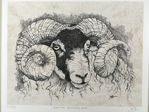 Scottish Blackface Ram Limited Edition Print